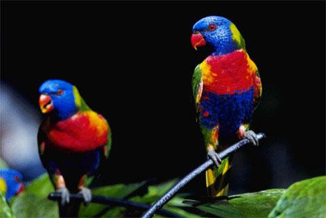 La disparition des espèces d'oiseaux s'accelère en Australie