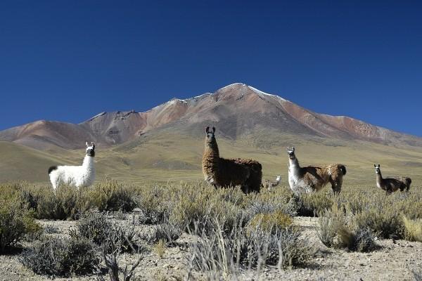 lama Circuit Incontournable de la Bolivie Santa Cruz Bolivie