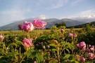 Au Pays des Roses