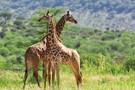 Premiers Regards Kenya & Tanzanie